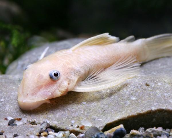 Goldener Antennenwels - Ancistrus albino