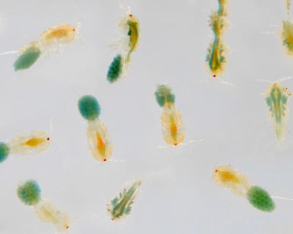 Marine Copepoden / Zooplankton - NatureHolic Lebendfutter