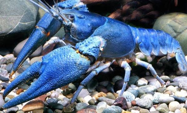 Blauer Edelkrebs - Astacus astacus