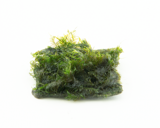 Fissidens Fontanus - 5x5cm Soilpad - GrowCap