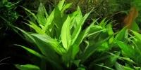 Thailändischer Wasserfreund - Hygrophila corymbosa