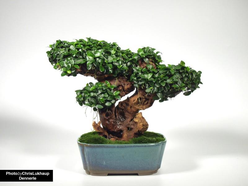 anubias-nana-bonsai-kleinster-zwergspeerblatt-1-2