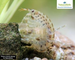 Marine Flohkrebse - Gammarus oceanicus - NatureHolic Lebendfutter