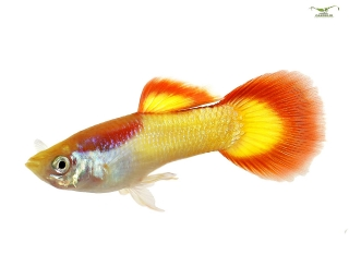 Guppy Männchen Flame - Poecilia reticulata