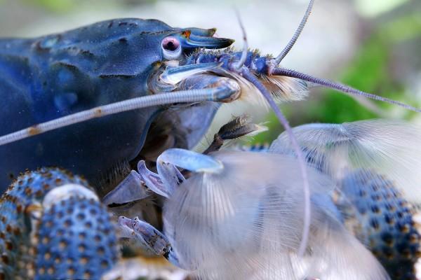 Blaue Gabunfächerhandgarnele - Monsterfächergarnele - Atya gabonensis
