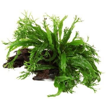 Windeløv-Javafarn - Microsorum pteropus 'Windeløv' - Tropica Pflanze auf Wurzeln
