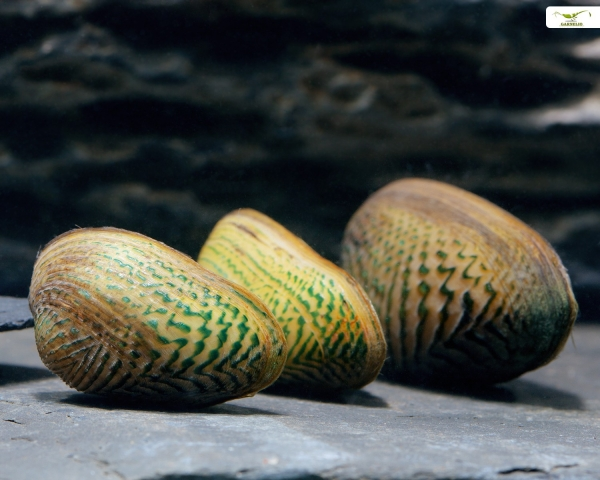 Ornamentmuschel, Scabies crispata