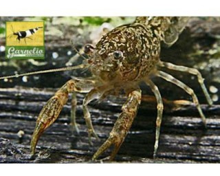 Lousiana Zwergflusskrebs - Cambarellus shufeldtii