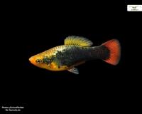 Hawaii Platy - Xiphophorus maculatus