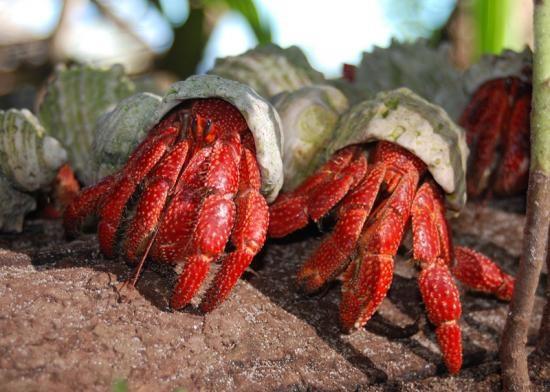 Erdbeer Landeinsiedlerkrebs - Coenobita perlatus