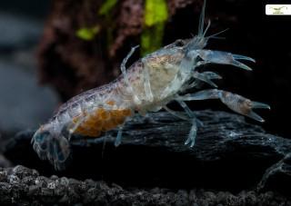 Kleinster Zwergkrebs - Cambarellus diminutus