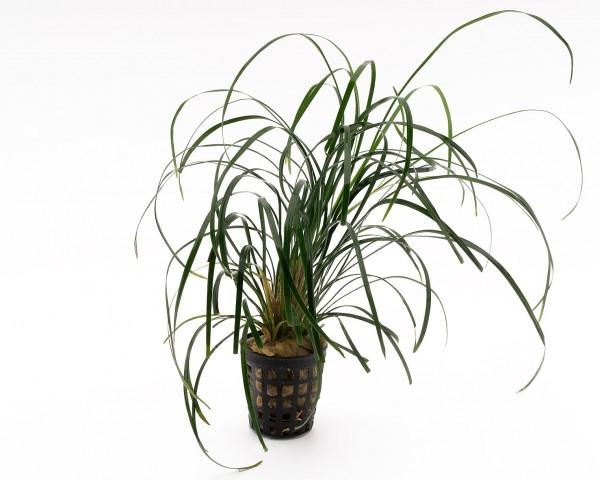 Japanischer Schlangenbart - Ophiopogon japonica - NatureHolic Plants - Topf