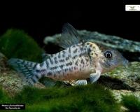 Gepunkteter Panzerwels - Corydoras punctatus
