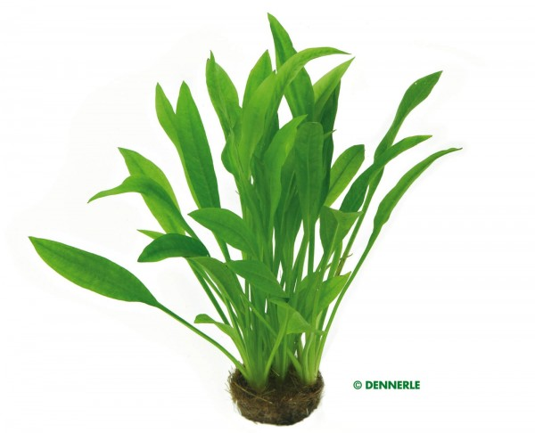 Schmalblättrige Amazonas Schwertpflanze - Echinodorus Grisebachii Amazonicus - Dennerle Terrakottari