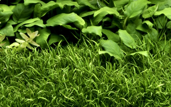 1-2-GROW! Brasilianische Graspflanze / Lilaeopsis brasiliensis