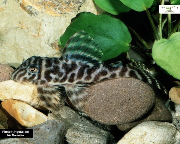 L287 - Ozelot Harnischwels - Hypancistrus sp. DNZ 4-5cm