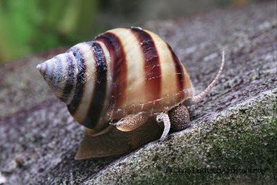Pianoschnecke / Pinselalgen-Schnecke - Taia naticoides