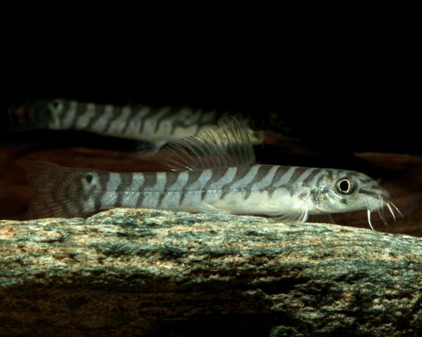 Sandschmerle - Paracanthocobitis rubidipinnis