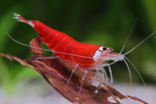 Super Crystal Red Garnele - Caridina logemanni