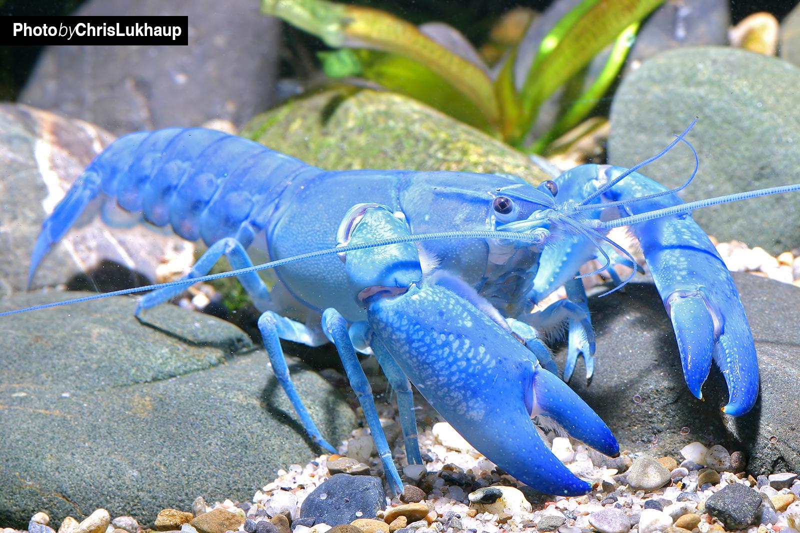 "Blauer Yabby ""Blue Pearl - Cherax destructor im Aquarium"
