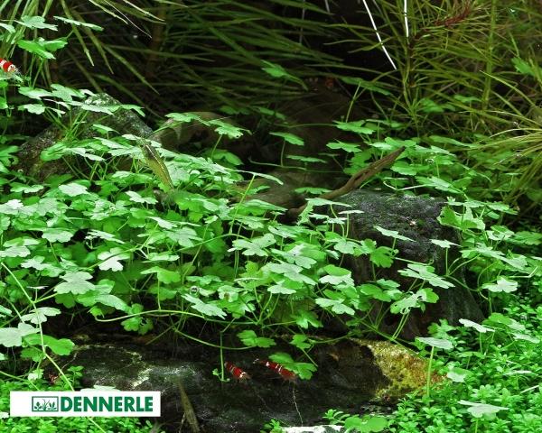 Kleeblatt - Hydrocotyle cf. tripartita - Dennerle Topf