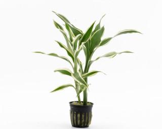 Dracaena Sanderiana - NatureHolic Plants - Topf