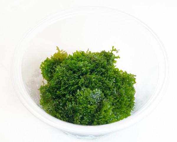 Garnelio - Buchtiges Riccardimoos - Riccardia chamedryfolia - Portion