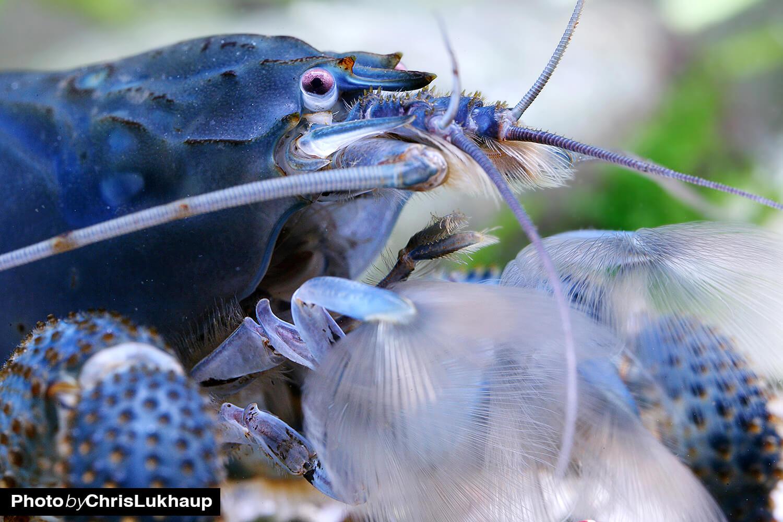 Blaue Monsterhand Fächergarnelen aus Afrika