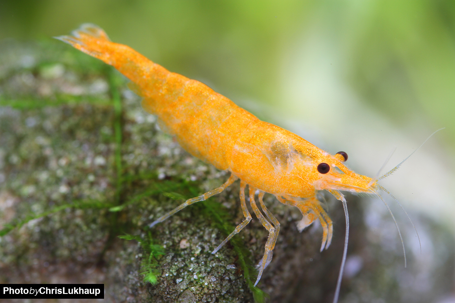 Orange Fire Garnele - Neocaridina davidi