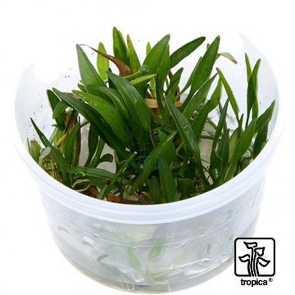1-2-GROW! Helanthium tenellum 'Green'