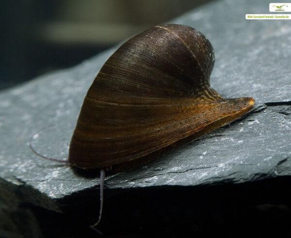 Batmanschnecke (Fledermausschnecke) - Neritina auriculata