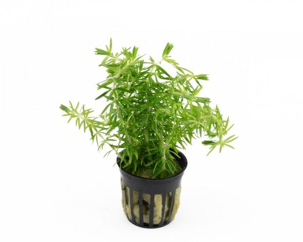 Indische Sternpflanze - Pogostemon erectus - NatureHolic Plants - Topf