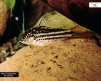 Nanus Panzerwels - Corydoras nanus - DNZ