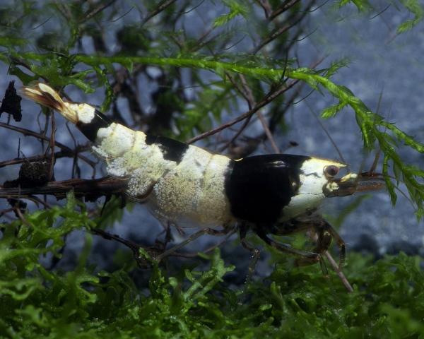 Taiwan Bee Mischlinge F1 - Caridina cf. cantonensis