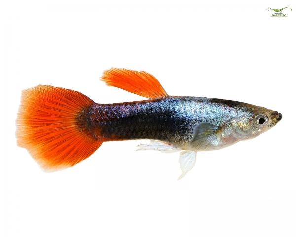 """Guppy männlich """"neon red tuxedo"""" - Poecilia reticulata"""