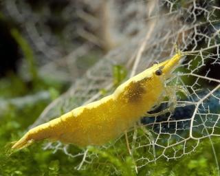 Tragende Yellow Fire Garnele - Gelbe Garnele