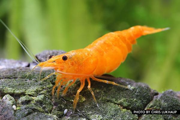 """Orange Fire Garnele - Sakura Sunkist Garnele - Neocaridina davidi """"Orange"""""""