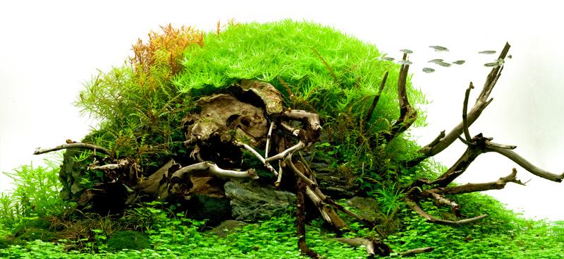 aquariumpflanzen online wasserpflanzen kaufen garnelen. Black Bedroom Furniture Sets. Home Design Ideas
