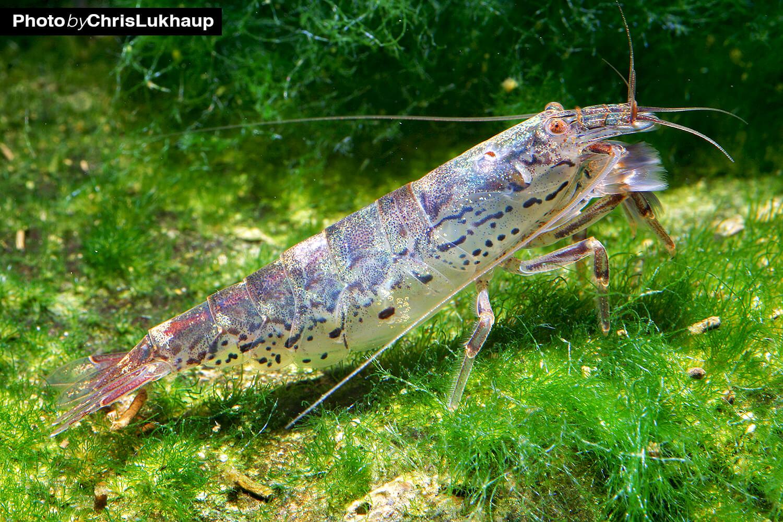 Sulawesi Zwergfächergarnele - atoyida pilipes ist auch unter dem Pseudonym Mini Fächergarnele weit verbreitet in der Aquaristik