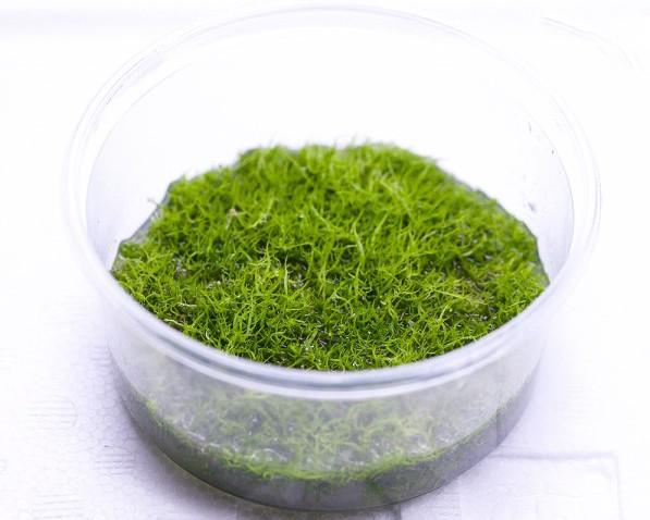 grasartiger wasserschlauch utricularia graminifolia invitro becher invitro moos invitro. Black Bedroom Furniture Sets. Home Design Ideas