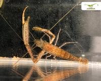 Monsterarm Garnele - Macrobrachium spec