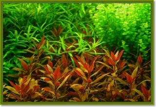 Wasserpflanzen Mix - 5 Töpfe