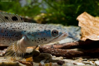 Schöner Schlangenkopffisch - Channa pulchra - DNZ - 10cm