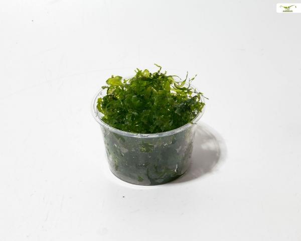 Garnelio - Süßwassertang - Lomariopsis lineata - Portion