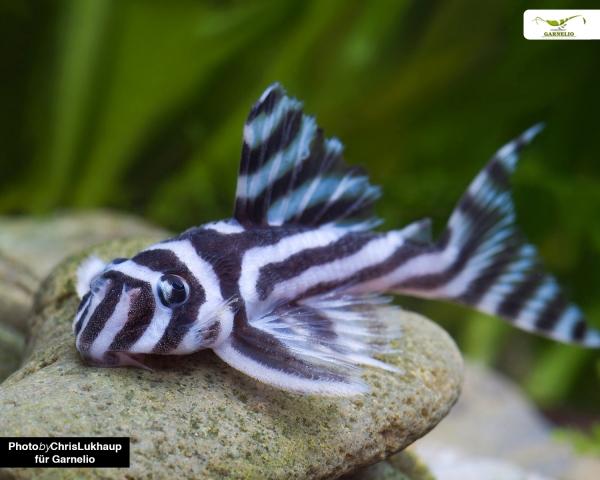 1 x L46 Zebra Harnischwels - Hypancistrus zebra