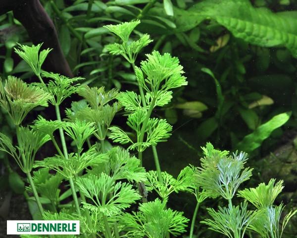 Kleine Ambulia - Limnophila sessiliflora - Dennerle Topf