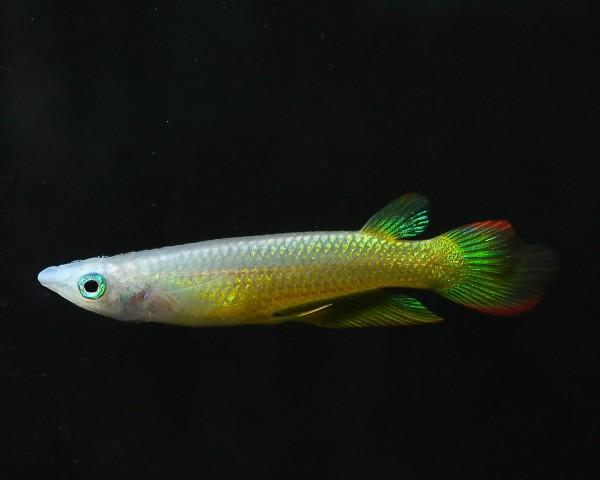 Streifenhechtling Gold - Aplocheilus lineatus