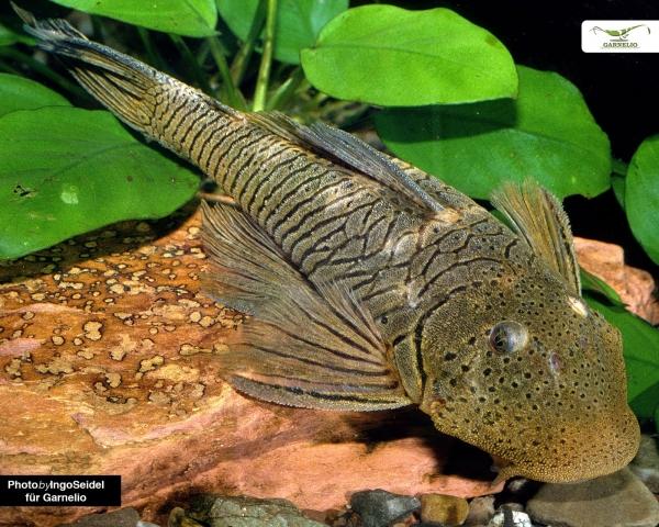Gebirgsbachwels - Chaetostoma thomasi