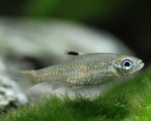 Leuchtaugenbärbling - Rasbora dorsiocellata