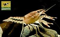 Gemalter Flusskrebs, Procambarus versutus